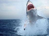 fish_shark_130.jpg