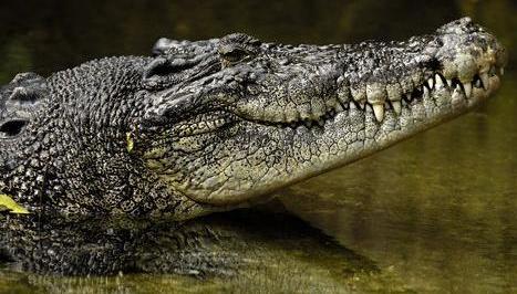 saltwater_crocodile.JPG